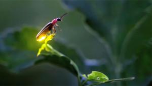 Lightning-Bugs